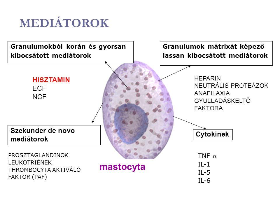 MEDIÁTOROK mastocyta Granulumokból korán és gyorsan kibocsátott mediátorok Granulumok mátrixát képező lassan kibocsátott mediátorok PROSZTAGLANDINOK L