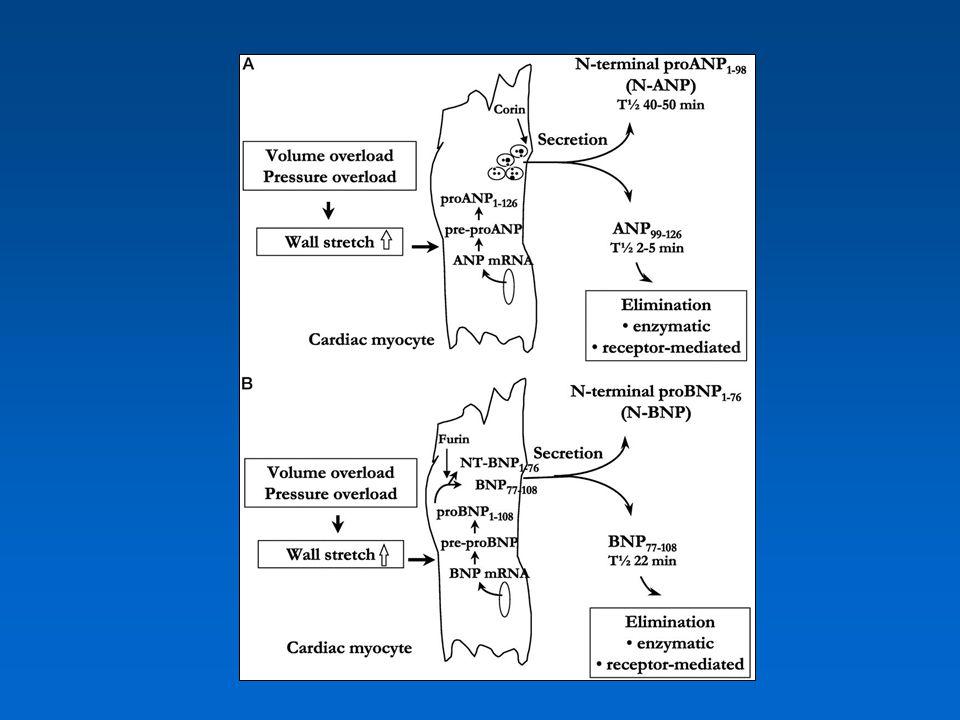 Therápia 1.exogén BNP adása (nesiritide) PRECEDENT és VMAC study 1.NEP inhibitorok NEP + ACE inhibitorok (omapatrilát) NEP + ECE inhibitorok NEP + ACE + ECE inhibitorok OVERTURE, OCTAVE study (NPR-C antagonisták)(NPR-C antagonisták)