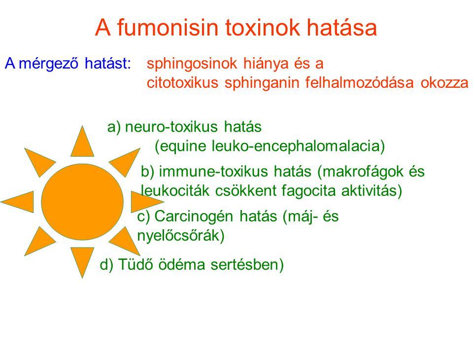 A fumonisin toxinok hatása A mérgező hatást: sphingosinok hiánya és a citotoxikus sphinganin felhalmozódása okozza a)neuro-toxikus hatás (equine leuko