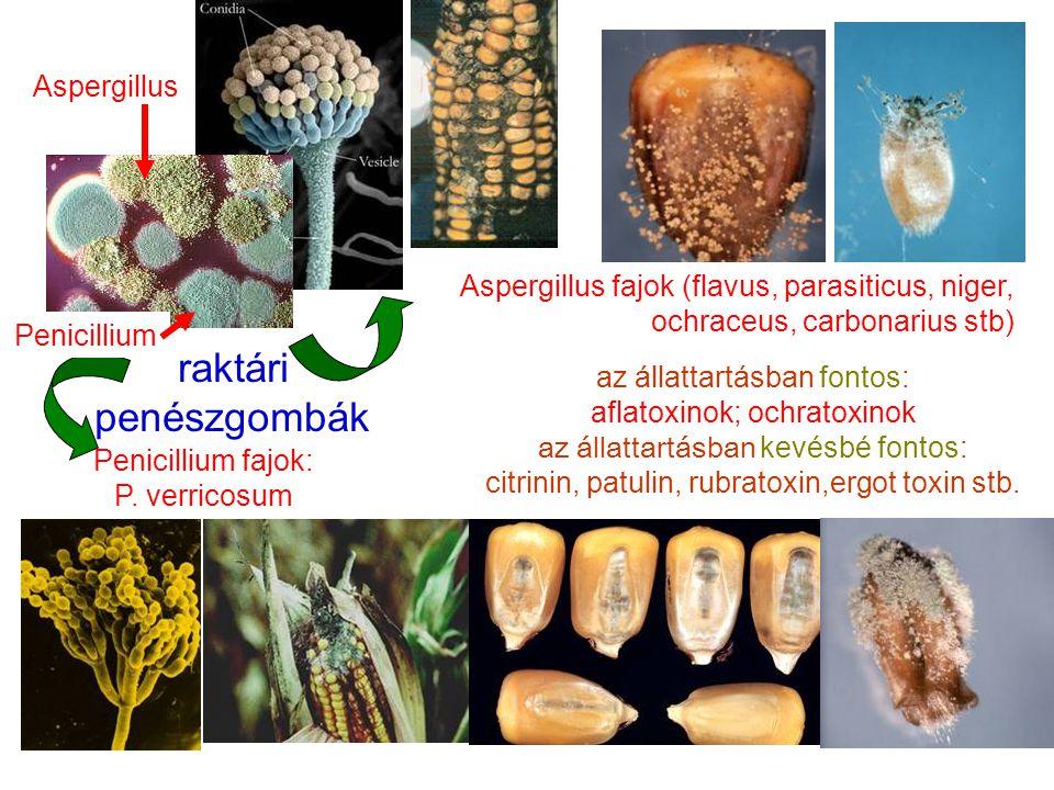 raktári penészgombák Aspergillus fajok (flavus, parasiticus, niger, ochraceus, carbonarius stb) az állattartásban fontos: aflatoxinok; ochratoxinok az