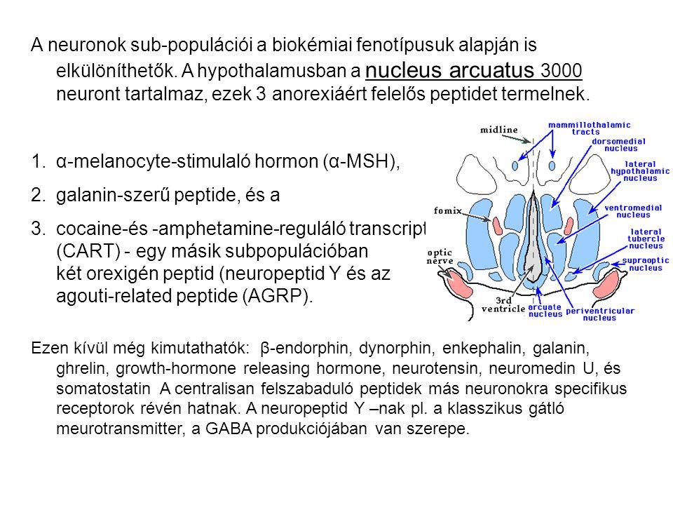 Leptin (1994) - adipocyták termelik (16 kDa súlyú protein).