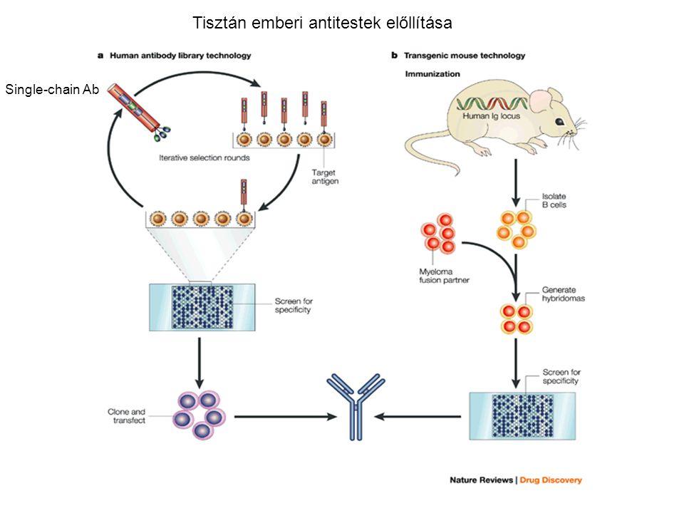 Single-chain Ab Tisztán emberi antitestek előllítása