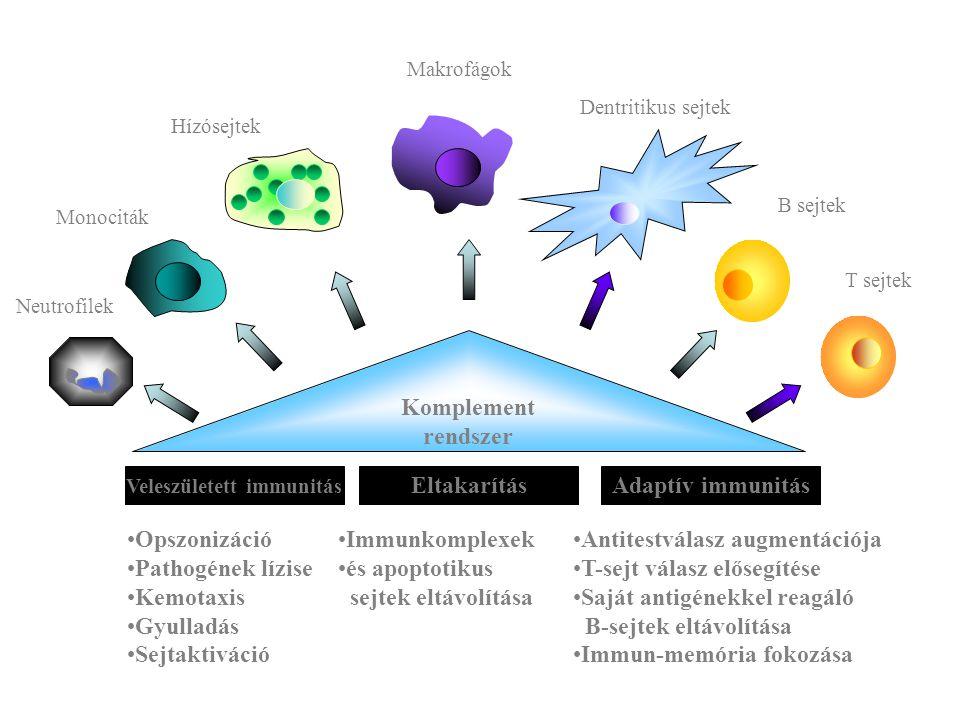 Komplement rendszer Veleszületett immunitás EltakarításAdaptív immunitás Opszonizáció Pathogének lízise Kemotaxis Gyulladás Sejtaktiváció Immunkomplex