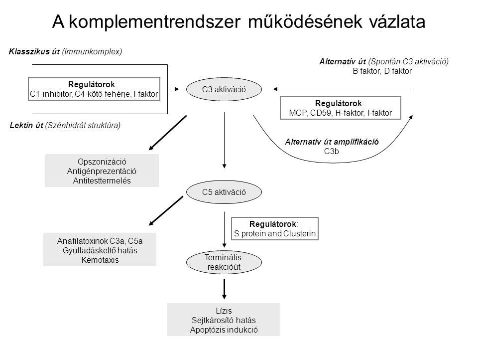 Klasszikus út (Immunkomplex) C3 aktiváció Alternatív út (Spontán C3 aktiváció) B faktor, D faktor Lektin út (Szénhidrát struktúra) Alternatív út ampli