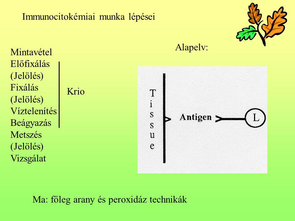 Immunocitokémiai munka lépései Mintavétel Előfixálás (Jelölés) Fixálás (Jelölés) Víztelenítés Beágyazás Metszés (Jelölés) Vizsgálat Alapelv: Krio Ma: főleg arany és peroxidáz technikák
