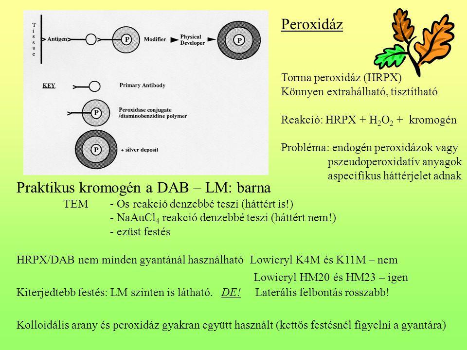 Praktikus kromogén a DAB – LM: barna TEM - Os reakció denzebbé teszi (háttért is!) - NaAuCl 4 reakció denzebbé teszi (háttért nem!) - ezüst festés HRPX/DAB nem minden gyantánál használhatóLowicryl K4M és K11M – nem Lowicryl HM20 és HM23 – igen Kiterjedtebb festés: LM szinten is látható.