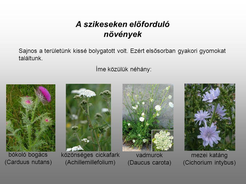 A szikeseken előforduló növények Sajnos a területünk kissé bolygatott volt. Ezért elsősorban gyakori gyomokat találtunk. Íme közülük néhány: bókoló bo