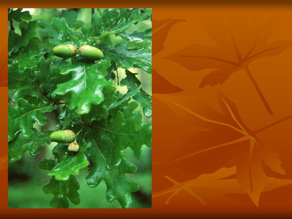 Felhasználása Értékes, jól megmunkálható keményfa, de csak gőzölés után hámozható, faragható.