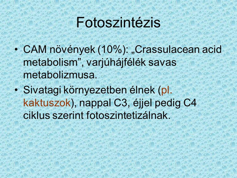 """Fotoszintézis CAM növények (10%): """"Crassulacean acid metabolism"""", varjúhájfélék savas metabolizmusa. Sivatagi környezetben élnek (pl. kaktuszok), napp"""