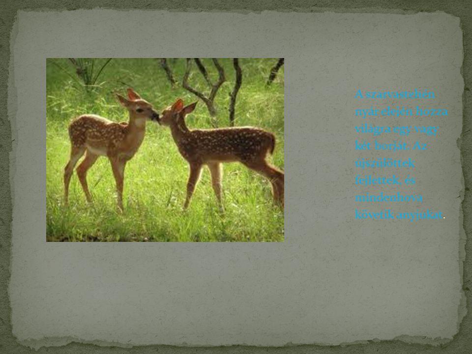 A karcsú, szép tartású állat testhossza a hímeknél 2 m, testtömege 150-270 kg.