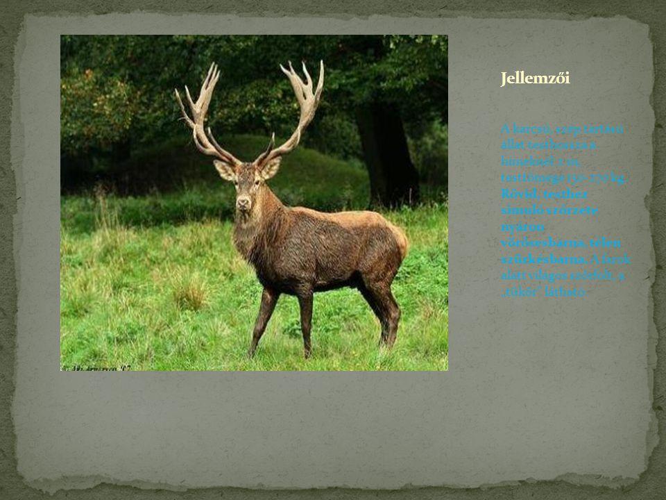 A karcsú, szép tartású állat testhossza a hímeknél 2 m, testtömege 150-270 kg. Rövid, testhez simuló szőrzete nyáron vörösesbarna, télen szürkésbarna.