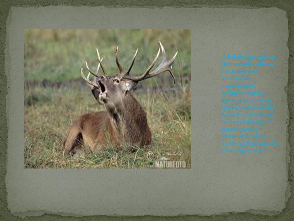 A bikák fejét agancs (korona) díszíti,mely a homlokcsont nyúlványán, a rózsatőn ül. A tömör csontú agancsszár alakja és ágainak száma az állat korától