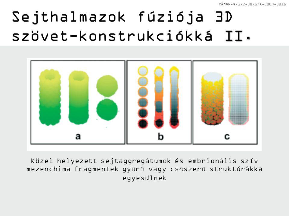 TÁMOP-4.1.2-08/1/A-2009-0011 II. Sejthalmazok fúziója 3D szövet-konstrukciókká II. Közel helyezett sejtaggregátumok és embrionális szív mezenchima fra