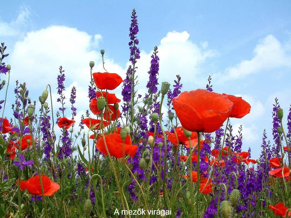A mezők virágai