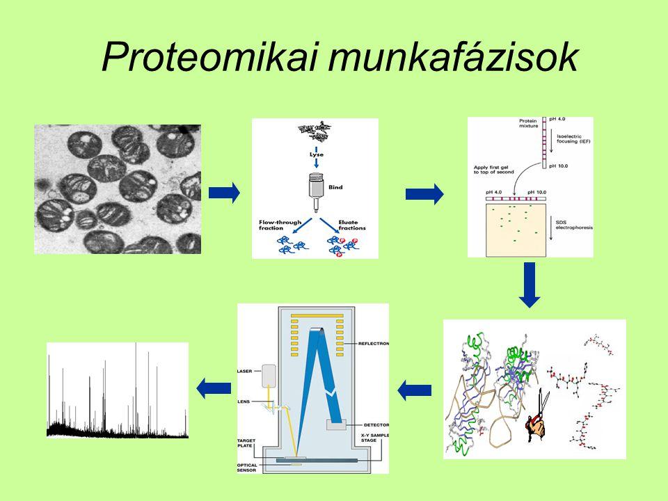 Proteomikai munkafázisok