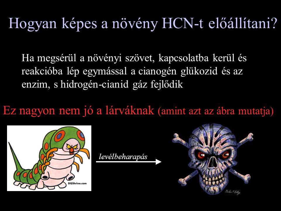 Hogyan képes a növény HCN-t előállítani? Ha megsérül a növényi szövet, kapcsolatba kerül és reakcióba lép egymással a cianogén glükozid és az enzim, s