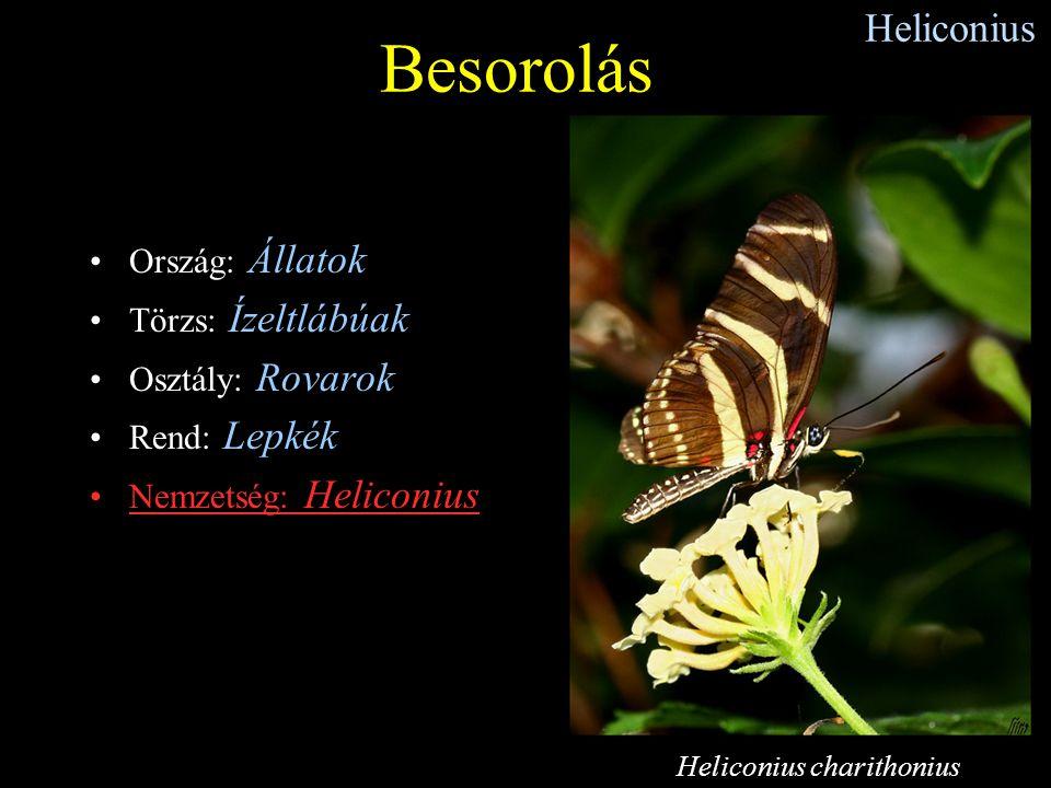 Heliconius Ország: Állatok Törzs: Ízeltlábúak Osztály: Rovarok Rend: Lepkék Nemzetség: Heliconius Besorolás Heliconius charithonius