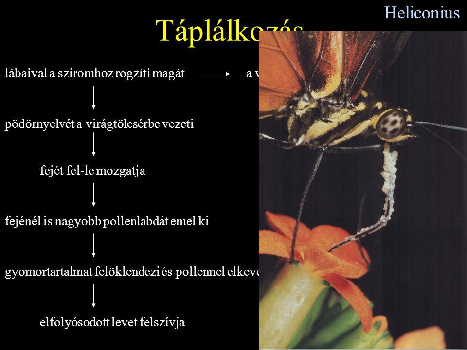 Heliconius Táplálkozás lábaival a sziromhoz rögzíti magát pödörnyelvét a virágtölcsérbe vezeti fejét fel-le mozgatja fejénél is nagyobb pollenlabdát e