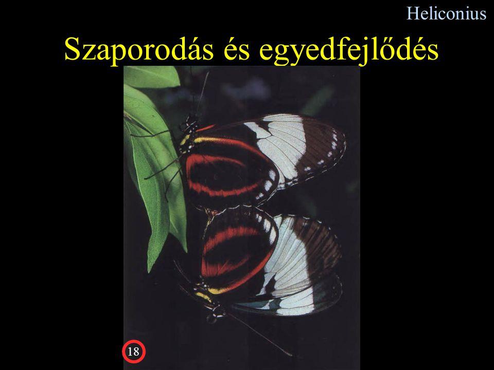 Heliconius Szaporodás és egyedfejlődés 18