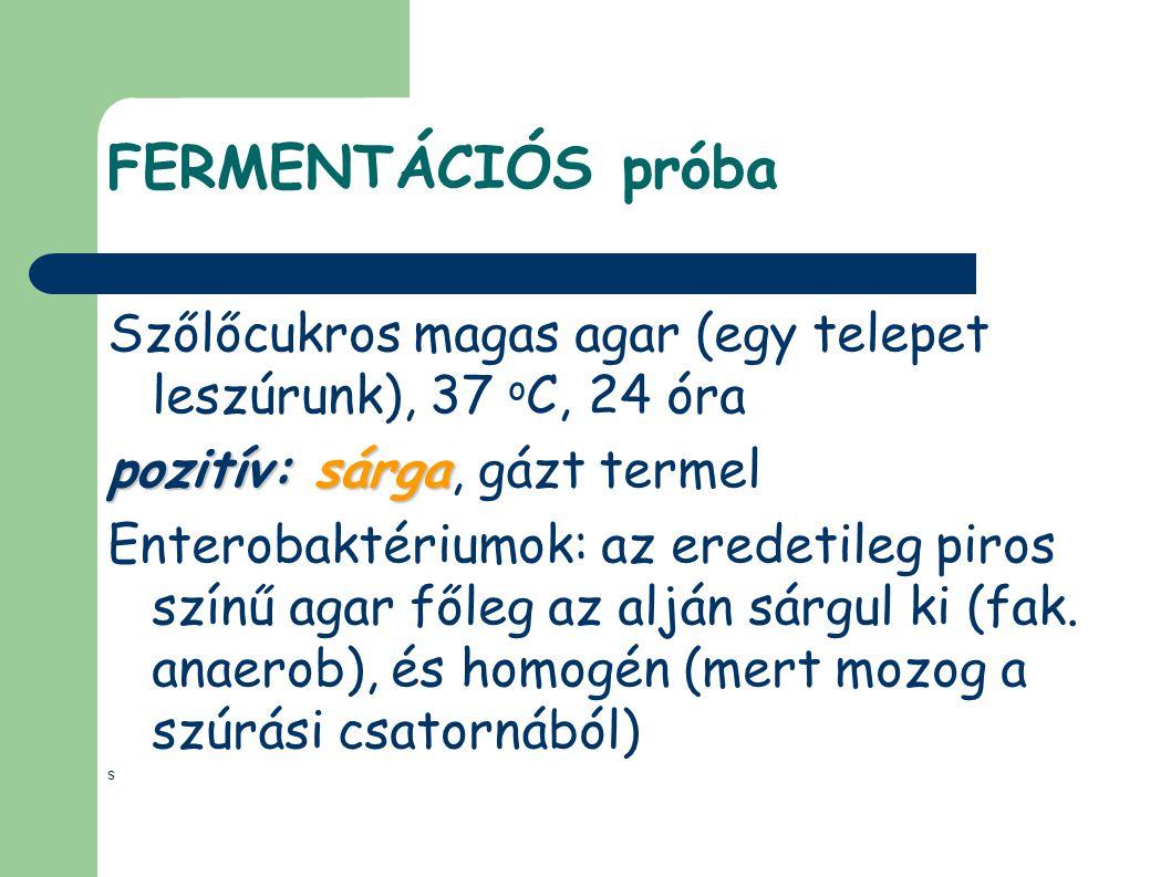 FERMENTÁCIÓS próba Szőlőcukros magas agar (egy telepet leszúrunk), 37 o C, 24 óra pozitív: sárga pozitív: sárga, gázt termel Enterobaktériumok: az ere
