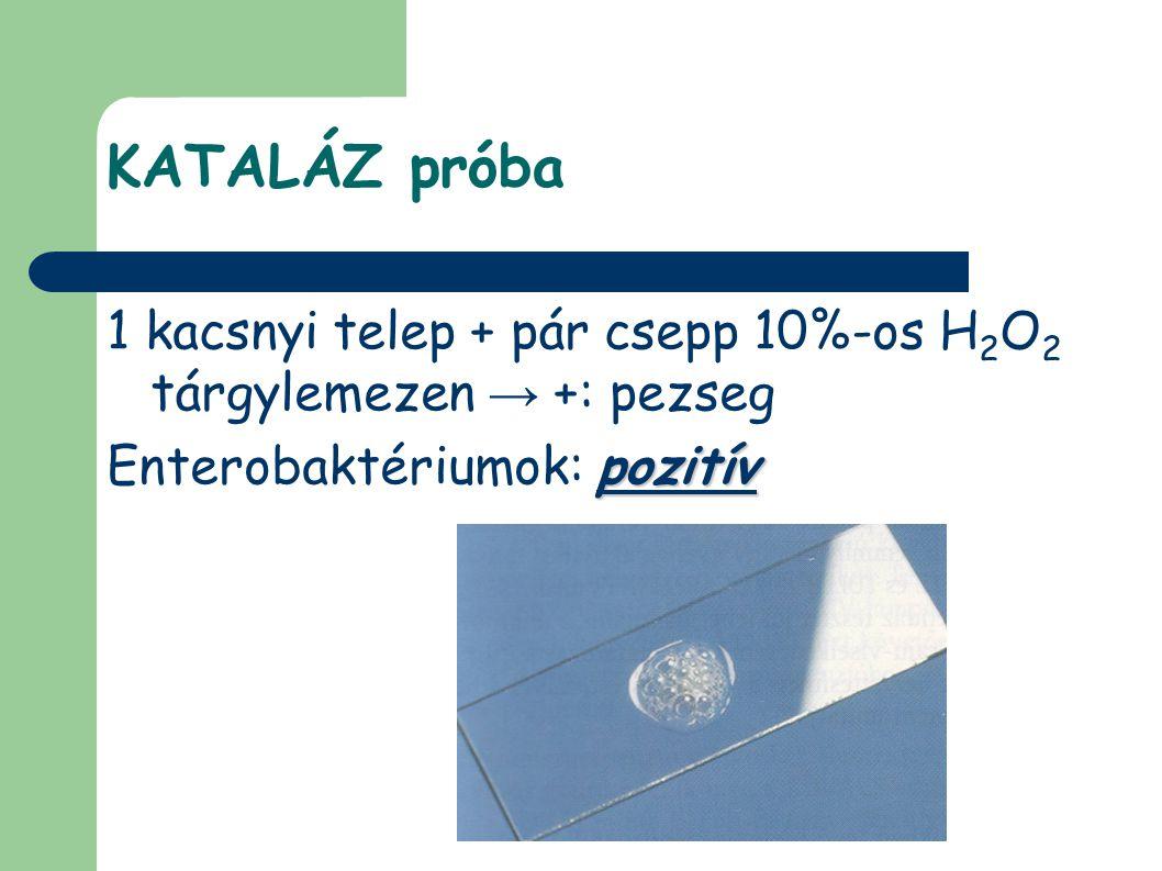 KATALÁZ próba 1 kacsnyi telep + pár csepp 10%-os H 2 O 2 tárgylemezen → +: pezseg pozitív Enterobaktériumok: pozitív