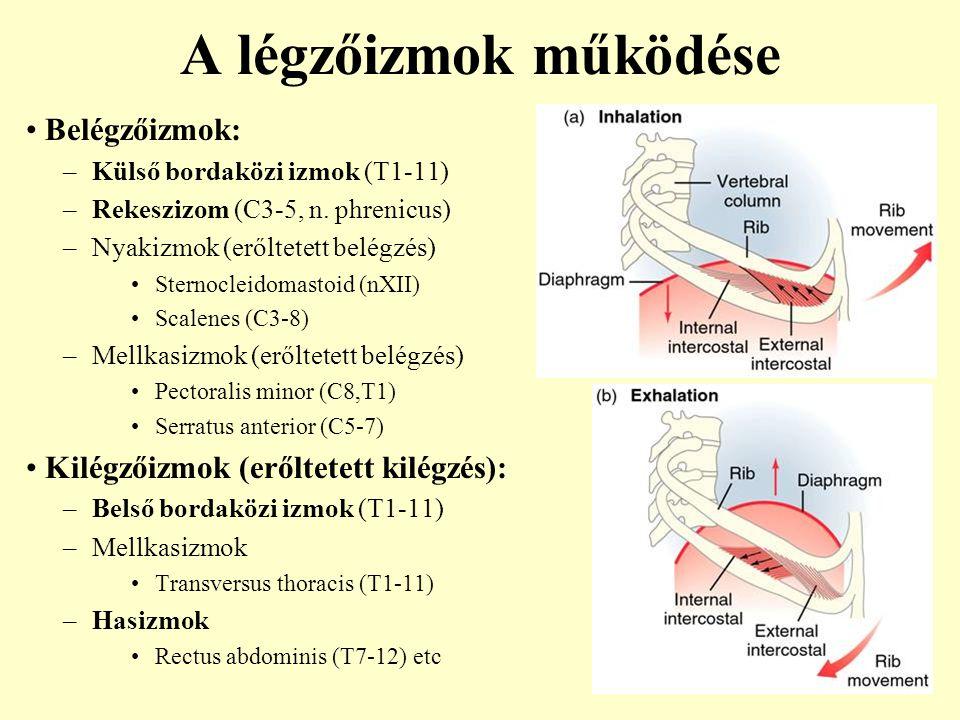 A légzőizmok működése Belégzőizmok: –Külső bordaközi izmok (T1-11) –Rekeszizom (C3-5, n. phrenicus) –Nyakizmok (erőltetett belégzés) Sternocleidomasto