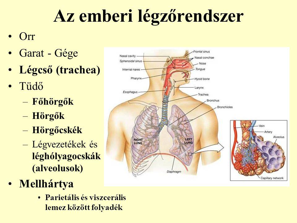 Az emberi légzőrendszer Orr Garat - Gége Légcső (trachea) Tüdő –Főhörgők –Hörgők –Hörgőcskék –Légvezetékek és léghólyagocskák (alveolusok) Mellhártya
