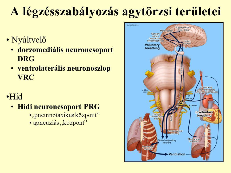 """A légzésszabályozás agytörzsi területei Nyúltvelő dorzomediális neuroncsoport DRG ventrolaterális neuronoszlop VRC Híd Hídi neuroncsoport PRG """"pneumot"""