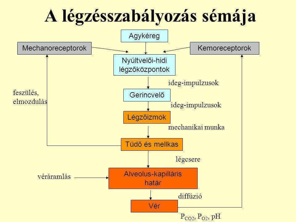 A légzésszabályozás sémája Vér Nyúltvelői-hidi légzőközpontok Gerincvelő Légzőizmok Tüdő és mellkas Alveolus-kapilláris határ Agykéreg KemoreceptorokM