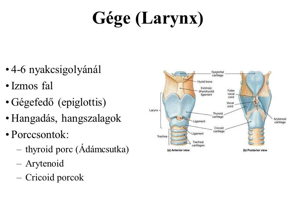 Gége (Larynx) 4-6 nyakcsigolyánál Izmos fal Gégefedő (epiglottis) Hangadás, hangszalagok Porccsontok: –thyroid porc (Ádámcsutka) –Arytenoid –Cricoid p