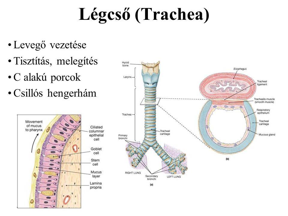 Hörgők (Brochi et bronchioli) Főhörgők (primary bronchi): –Jobb és bal –Belépnek a tüdőkbe Hörgők (secondary) –Jobb oldalon 3, bal oldalon 2db –A tüdőlebenyeket határozzák meg –Porcdarabok Harmadlagos hörgők stb Hörgőcskék –Csak simaizom