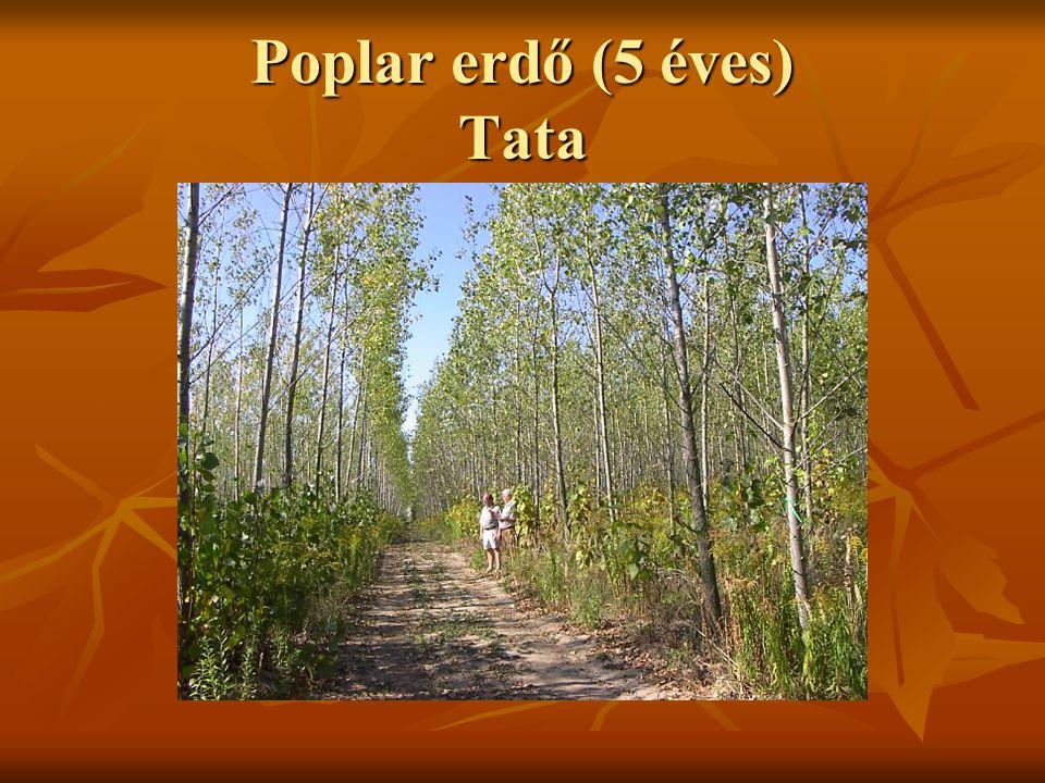 Poplar erdő (5 éves) Tata