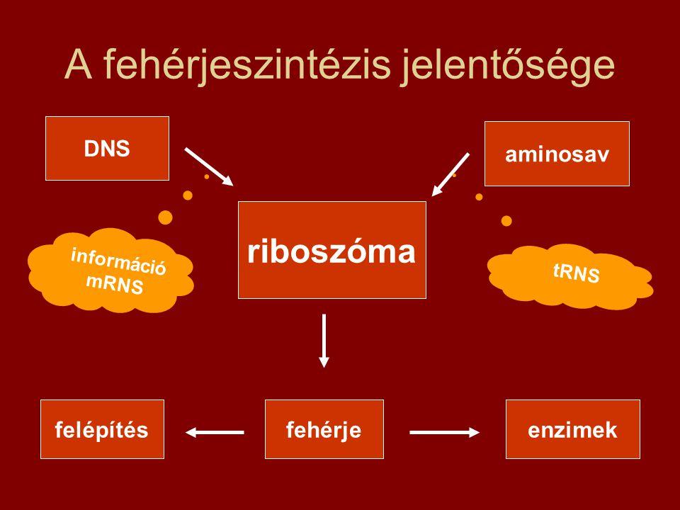 A fehérjeszintézis jelentősége DNS riboszóma aminosav fehérjefelépítésenzimek információ mRNS tRNS