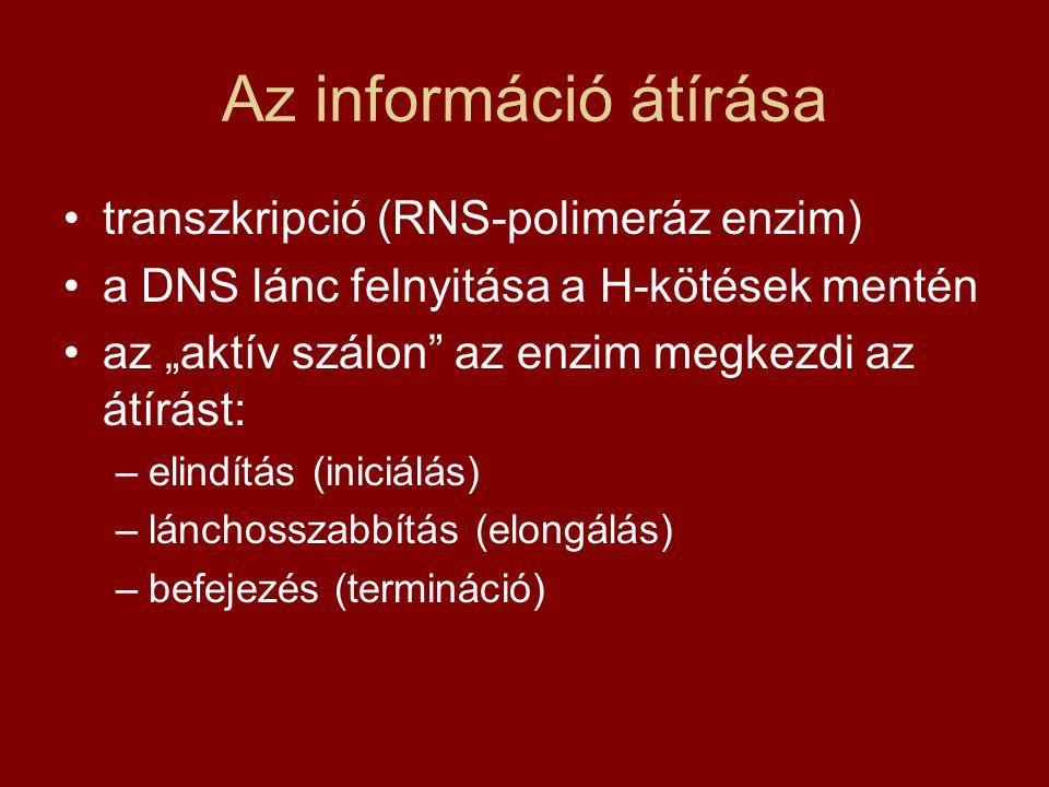 """Az információ átírása transzkripció (RNS-polimeráz enzim) a DNS lánc felnyitása a H-kötések mentén az """"aktív szálon az enzim megkezdi az átírást: –elindítás (iniciálás) –lánchosszabbítás (elongálás) –befejezés (termináció)"""