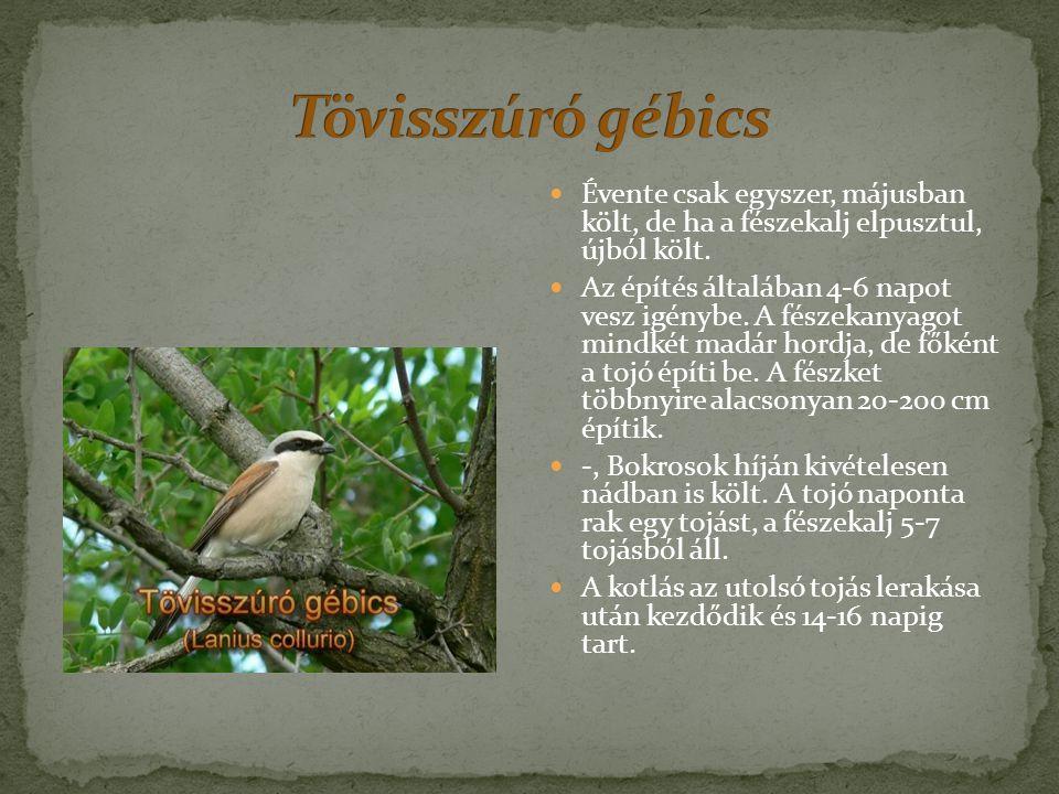 Testhossza 25-29 centiméter, szárnyfesztávolsága 44- 48 cm, testtömege 45- 87 gr.