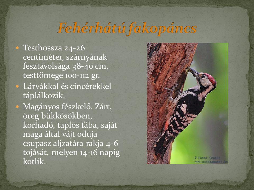 Testhossza 24-26 centiméter, szárnyának fesztávolsága 38-40 cm, testtömege 100-112 gr.