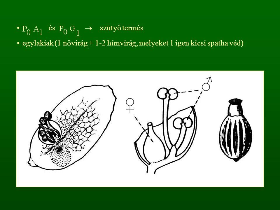 és  szütyő termés egylakiak (1 nővirág + 1-2 hímvirág, melyeket 1 igen kicsi spatha véd) ♂ ♀