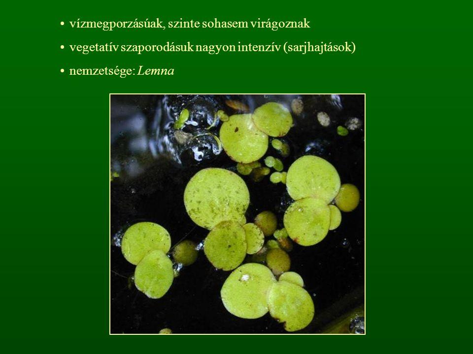 vízmegporzásúak, szinte sohasem virágoznak vegetatív szaporodásuk nagyon intenzív (sarjhajtások) nemzetsége: Lemna