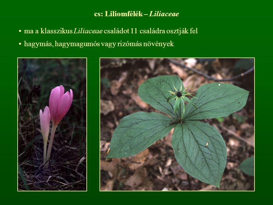 cs: Liliomfélék – Liliaceae ma a klasszikus Liliaceae családot 11 családra osztják fel hagymás, hagymagumós vagy rizómás növények