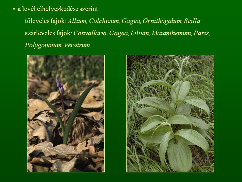 a levél elhelyezkedése szerint tőleveles fajok: Allium, Colchicum, Gagea, Ornithogalum, Scilla szárleveles fajok: Convallaria, Gagea, Lilium, Maianthe