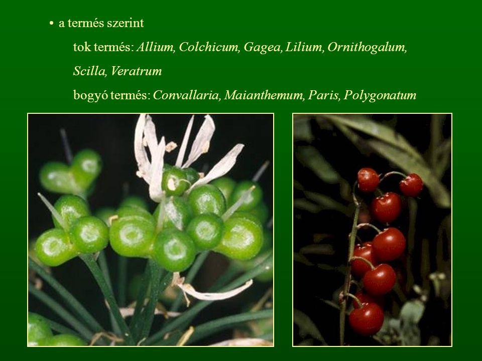 a termés szerint tok termés: Allium, Colchicum, Gagea, Lilium, Ornithogalum, Scilla, Veratrum bogyó termés: Convallaria, Maianthemum, Paris, Polygonat