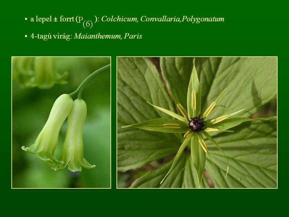a lepel ± forrt ( ): Colchicum, Convallaria,Polygonatum 4-tagú virág: Maianthemum, Paris