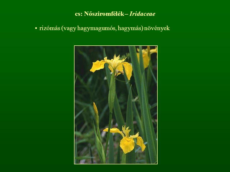 cs: Nősziromfélék – Iridaceae rizómás (vagy hagymagumós, hagymás) növények