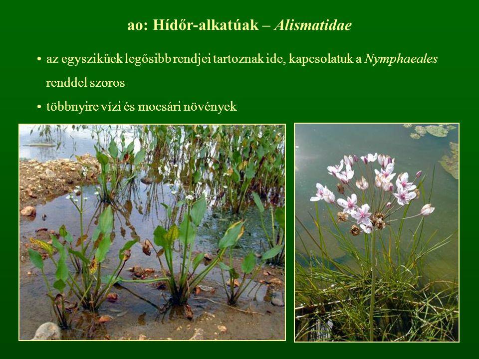 ao: Hídőr-alkatúak – Alismatidae az egyszikűek legősibb rendjei tartoznak ide, kapcsolatuk a Nymphaeales renddel szoros többnyire vízi és mocsári növé