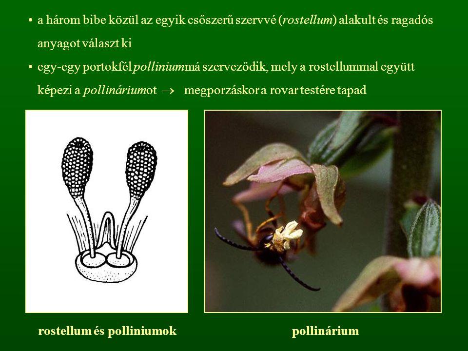 a három bibe közül az egyik csőszerű szervvé (rostellum) alakult és ragadós anyagot választ ki egy-egy portokfél polliniummá szerveződik, mely a roste