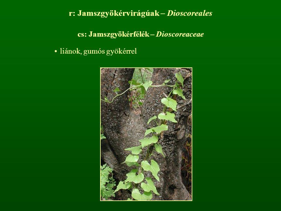 r: Jamszgyökérvirágúak – Dioscoreales cs: Jamszgyökérfélék – Dioscoreaceae liánok, gumós gyökérrel