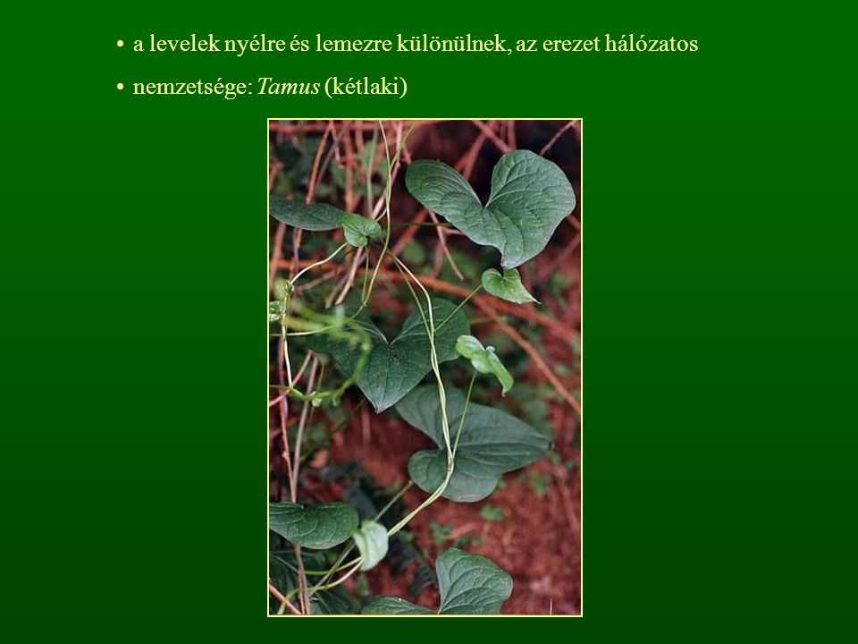 a levelek nyélre és lemezre különülnek, az erezet hálózatos nemzetsége: Tamus (kétlaki)