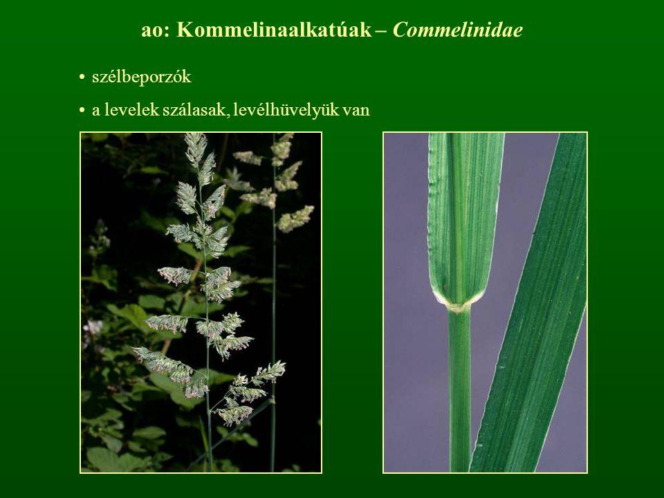 ao: Kommelinaalkatúak – Commelinidae szélbeporzók a levelek szálasak, levélhüvelyük van