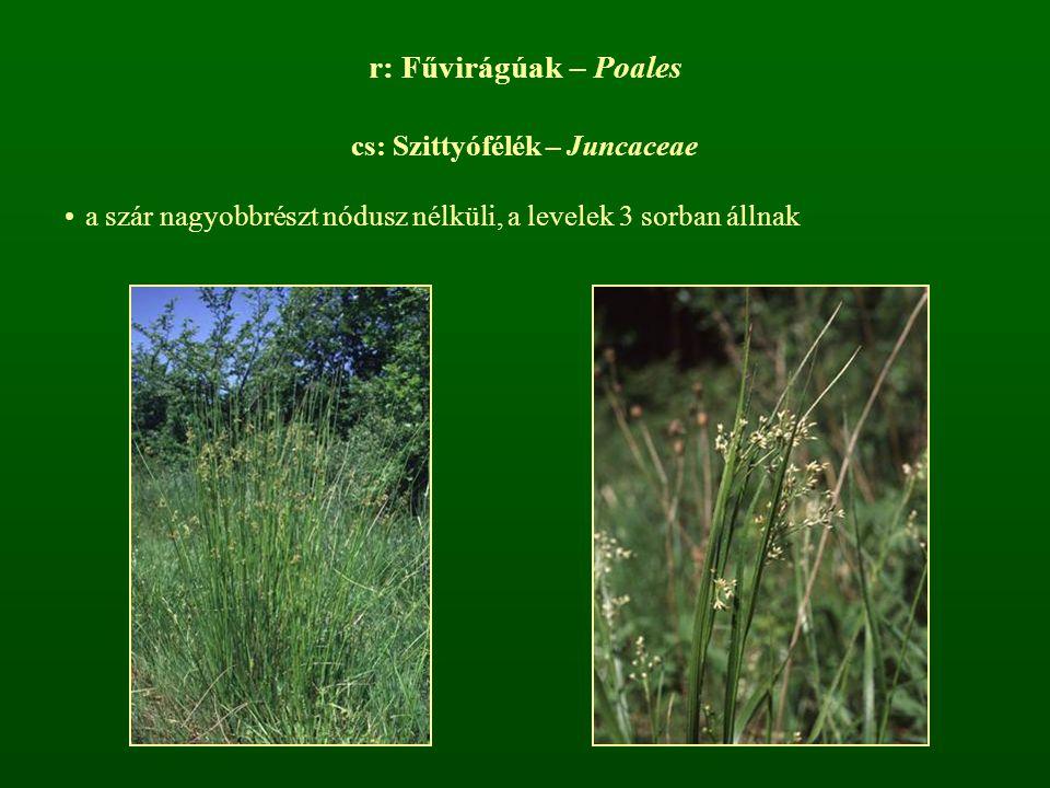 r: Fűvirágúak – Poales cs: Szittyófélék – Juncaceae a szár nagyobbrészt nódusz nélküli, a levelek 3 sorban állnak