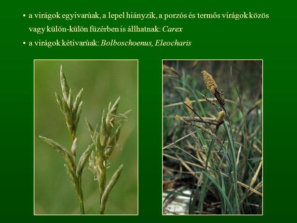 a virágok egyivarúak, a lepel hiányzik, a porzós és termős virágok közös vagy külön-külön füzérben is állhatnak: Carex a virágok kétivarúak: Bolboscho